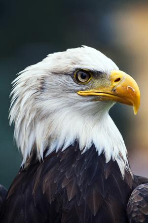 A beautiful american white-headed eagle photo