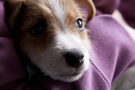 jack russel: A very sweet puppy of Jack Russel
