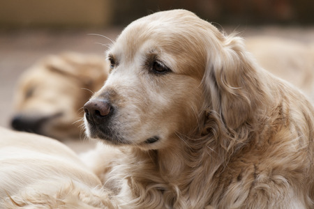 animals and pets: Portrait of a beutiful golden retriever