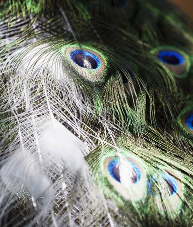 particolare: Particolare di un pavone bianco