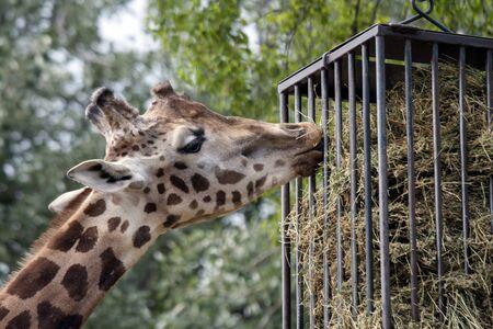 Portrait of a curiuos giraffe photo