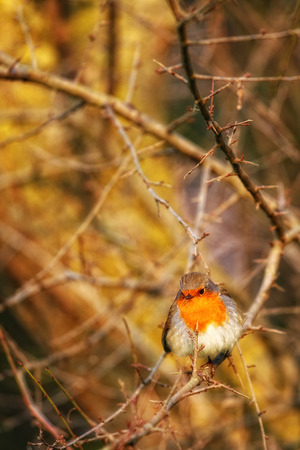 robin bird: Beautiful robin bird in search of food Stock Photo