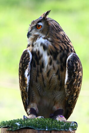 horned: Great Horned Owl  with red eyes and green background Stock Photo