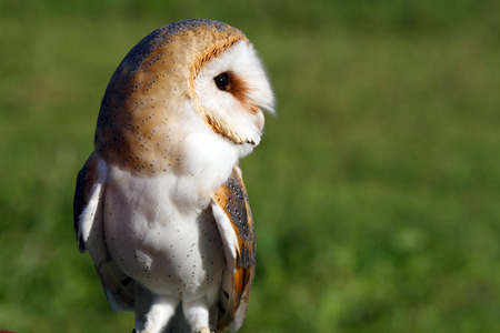 Portrait of a beautiful and curiuos barn owl photo