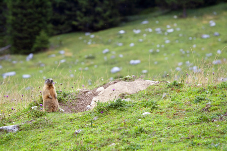 curiously: Little marmot looking curiously. Dolomiti Italia.