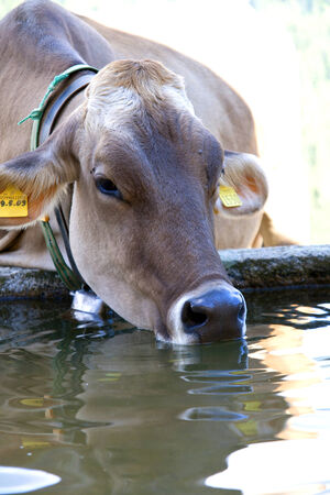 trough: Young cow drinking water. Dolomiti Italy Stock Photo