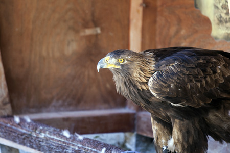 chrysaetos: Portrait of a golden eagle Aquila chrysaetos. Stock Photo