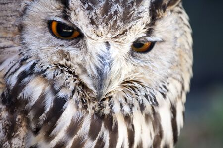 eurasian: Portrait of The Eurasian Eagle Owl .