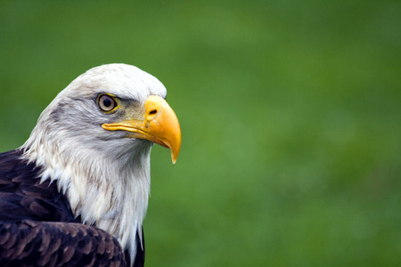 A beautiful North American Bald Eagle.