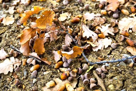 acorn seed: Oaken leaves and acorns. Close-up. Lying on the ground.