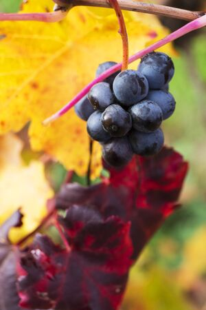 lambrusco: Grape closeup in autumn with red and yellow leaves.