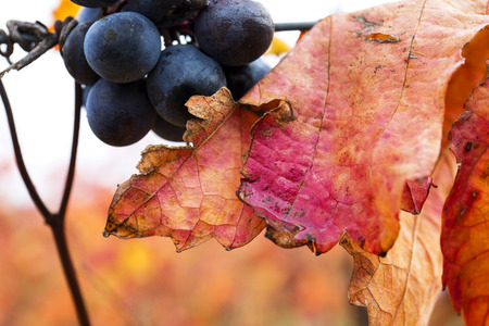 lambrusco: Grape closeup in autumn with red leaves. Stock Photo