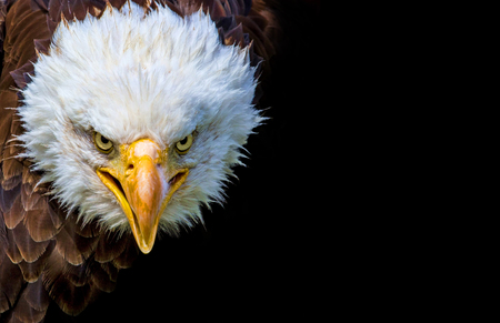Boze noord-Amerikaanse kale adelaar op zwarte achtergrond. Stockfoto