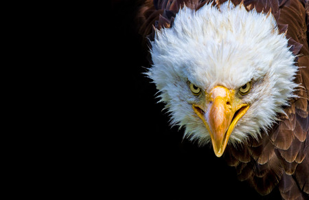 Angry north american bald eagle on black background. Stockfoto