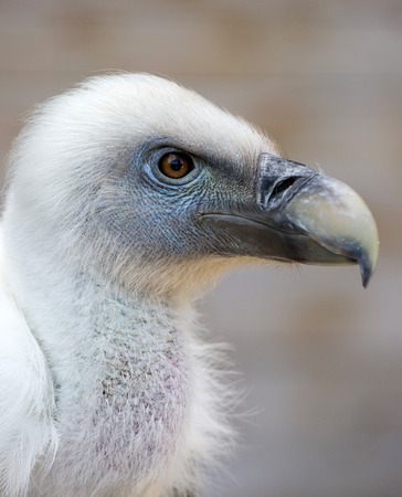 scavenger: Portrait of a young white vulture.