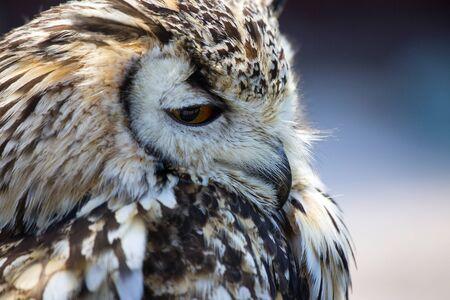 Portrait of The Eurasian Eagle Owl (Bubo bubo). Stock Photo