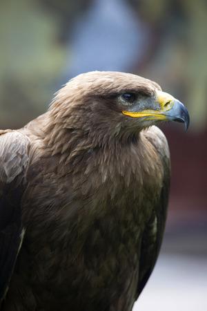 Steppe Eagle, Aquila nipalensis, detail of eagles head, eagle head JPG background.