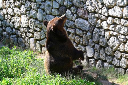 An hungry big brown bear in the zoo.