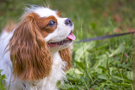 Beautiful dog cavalier king charles spaniel in the grass background.