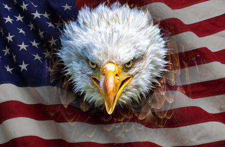 An angry north american bald eagle on american flag.