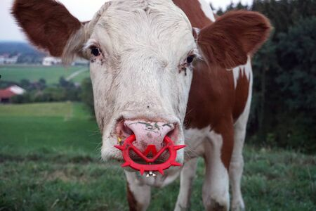 brown white mottled cow with red nose ring