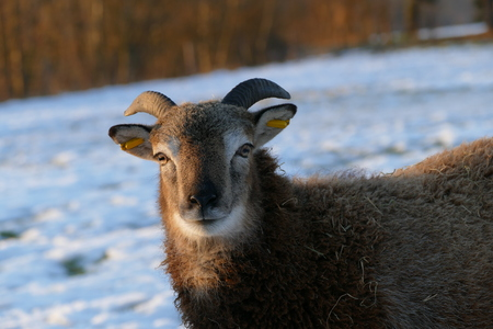 sheep head in winter