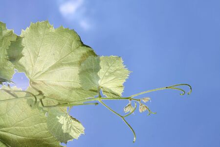 as: Vine leaves; blue sky as background