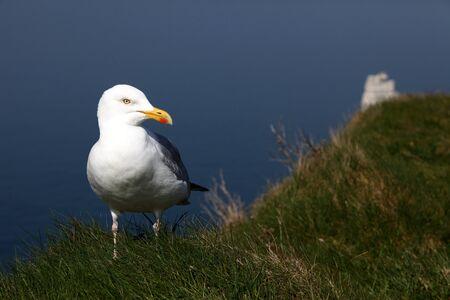 larus: European Herring Gull  - Larus argentatus  Stock Photo