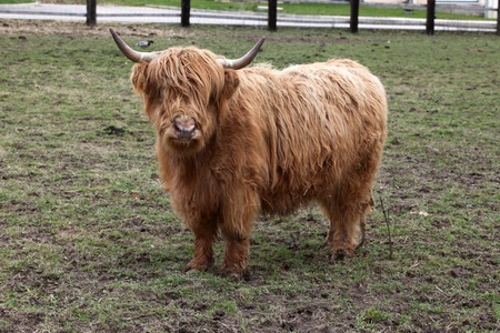 brute: Highland cow staring
