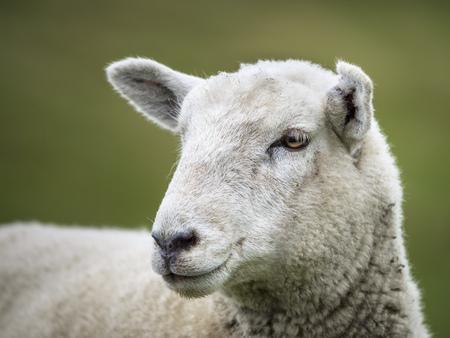 Sheep (Ovis aries) at Wharariki Beachwalk, Tasman Sea, Tasman Region, New Zealand, South Island