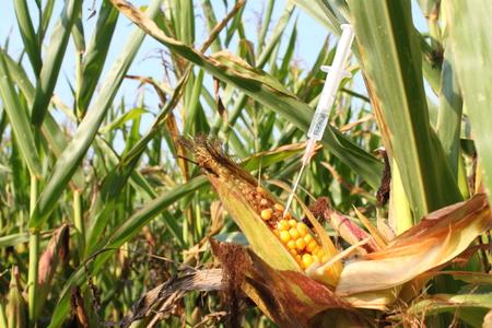 genetic food modification: Syringe injects a liquid into a corn cob