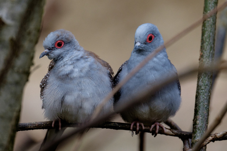 A couple of diamond doves are sitting on a branch and watching the passersby