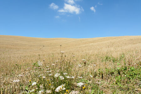 Toscana cornfield in summer with blue sky and some clouds photo
