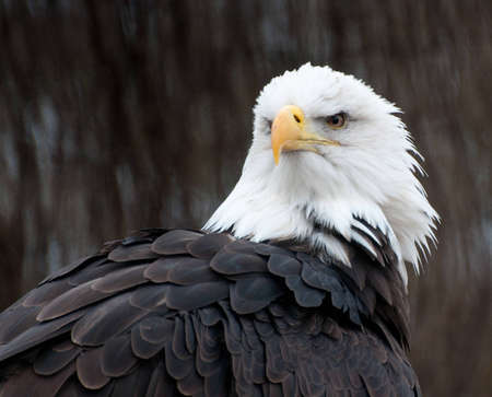 aguila calva: Águila calva