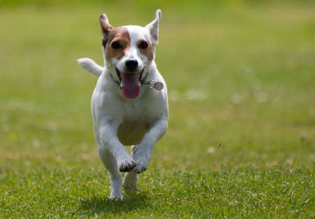 Jack Russell photo