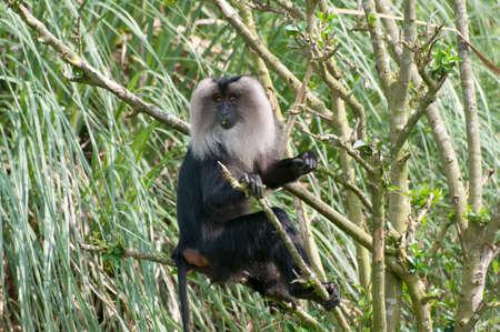 macaque: Macaque � queue de lion Banque d'images