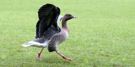 Hawaiian Goose Stock Photo - 11578346