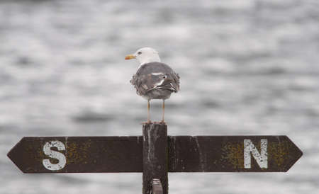 Lesser Black Backed Gull photo