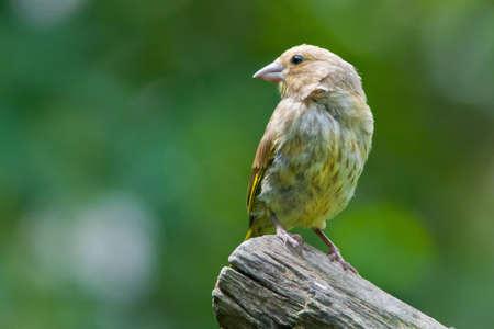 greenfinch: Greenfinch