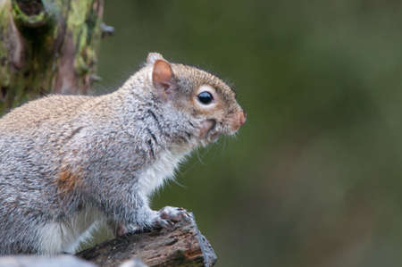 Grey Squirrel Stock Photo
