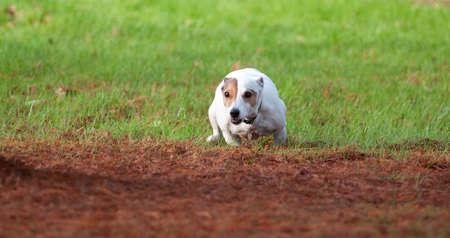 A Jack Russell running