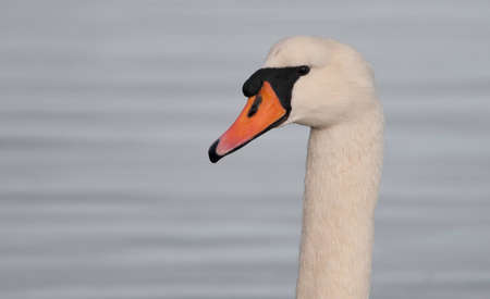 A close up of a Swan
