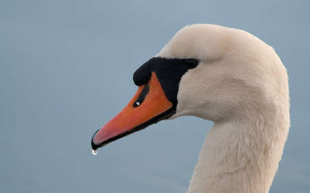 A close up of a Swan photo