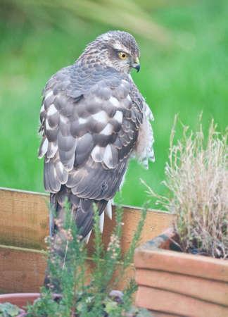 sparrowhawk: Sparrowhawk