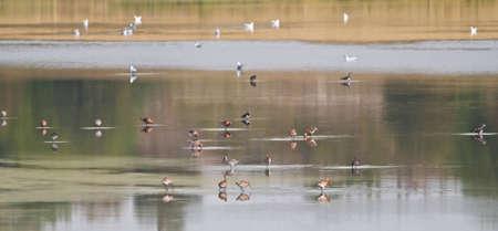 Bar Tailed Godwit   Lapwing wading in a lake