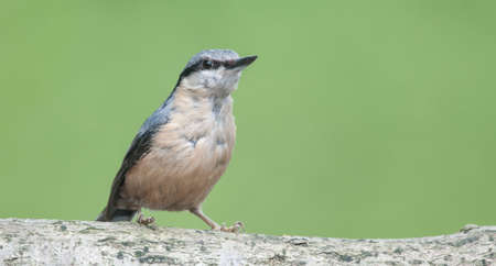 A Nuthatch perched on a branch Stock Photo