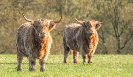 A close up photo of two Highland Cows Stock Photo
