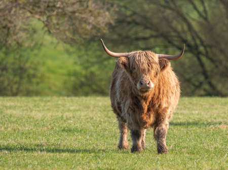 A close up photo of a Highland Cow