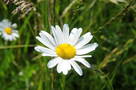 chamomile flower: Chamomile flower in a meadow Italian