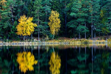 fall of the leafs: a pair of aspens with yellow fall leafs among green pine trees in forest by a lake, with the trees reflecting in the water